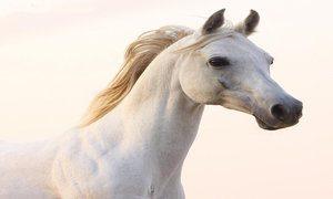arabian-horse-qatar